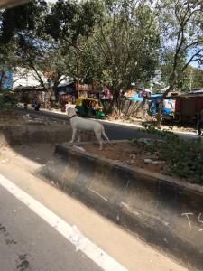 Dog in trashy India